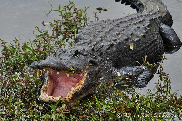 American Alligator For Alligator Habitat