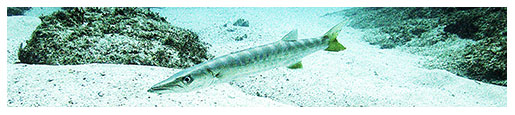 barracuda image for Florida Keys scuba diving
