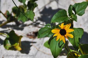 sunflower at Coco Plum Beach