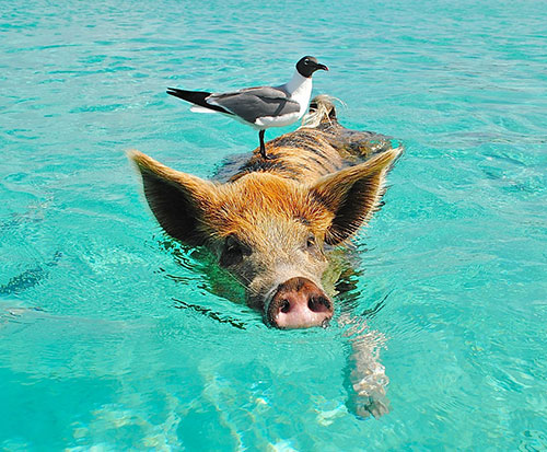 pig swimming image for Tips for Staying Coo