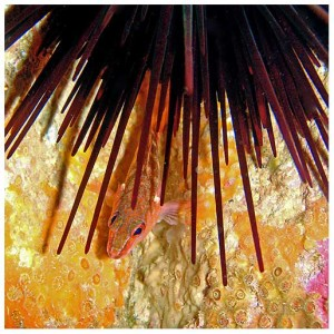 Urchin image for Florida Keys scuba diving